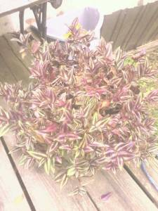 april's wandering jew - june 2013