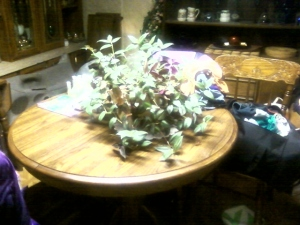 My Wandering Jew Plant as of 11-4-2013. I'm so proud.