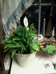 My Peace Lily 3-4-2014